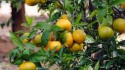 El PP intenta enmendar el acuerdo que permite importar naranja sudafricana