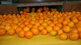 Naranjas en el proceso de manipulación en un almacén
