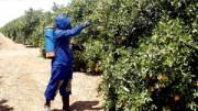 Un agricultor utilizando productos fitosanitarios mientras fumiga los árboles de un campo de naranjos