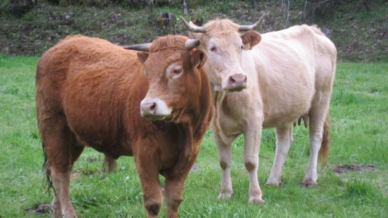 vacas libanesas