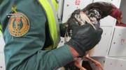 Ocho detenidos por organizar peleas de gallos en Valencia