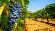 Los agricultores de Requena podrán plantar todo el viñedo para el cava que solicitaron en 2017