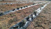 cultivo de plantas aromáticas en Alcublas para favorecer el crecimiento del municipio