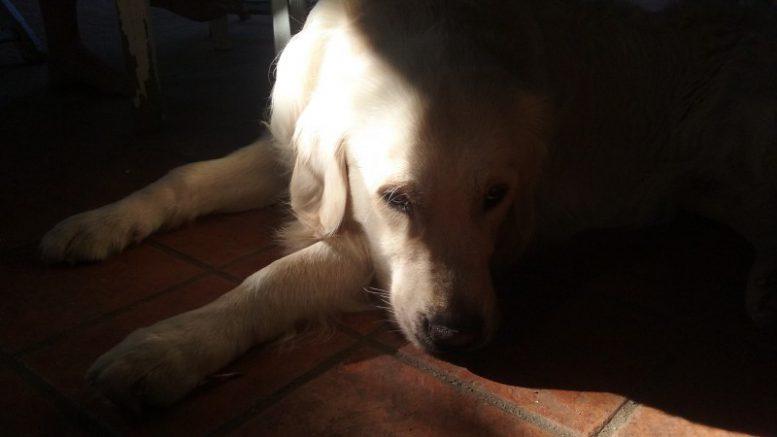 Los veterinarios valencianos recomiendan evitar los paseos de las mascotas en las horas de mayor actividad pirotécnica - en la fot